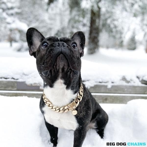 CUBAN_Gold_Dog_Collar_Cuban_Link_Designed_For_Large_andMedium_Size_Dog_Breed_with_a_Very_Strong_and_Patented_Clasp_Design_for_Medium_French_Bulldog_Frenchie_Doberman_and_more_BIG_DOG CHAINS