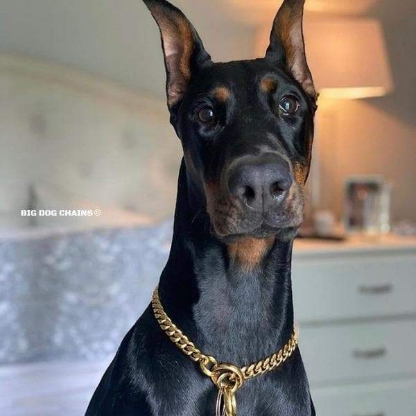 CUBAN_Training_Choker_Collar_Perfect_for_Doberman_Dobie_Collar_High_Quality_and_Unique_Gold_Cuban_Link_Dog_Collars_BIG_DOG_CHAINS