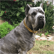 Cane Corso Large Gold Cuban Link Dog Collar Luxury Custom Stainless Steel Dog Collar - BIG DOG CHAINS