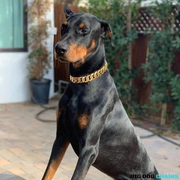Cuban_Gold_Dog_Collar_Cuban_Link_Designed_For_Medium_Size_Dog_Breed_with_a_Very_Strong_and_Patented_Clasp_Design_for_Medium_Doberman_Black_Dobbie_and_more_BIG_DOG CHAINS
