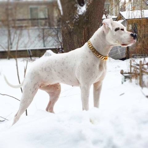 Gold Cuban dog collars | Big Dog Chains | White pitbull