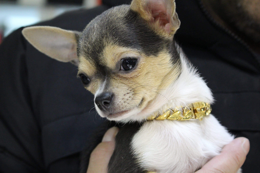 Small chihuahua | Cuban Link Gold Dog Collar | Lil' Dog Chains