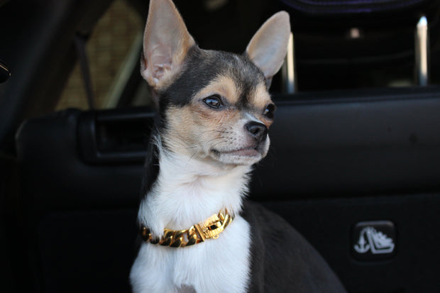 Chihuahua wearing a cuban link gold dog collar from Lil' Dog Chains
