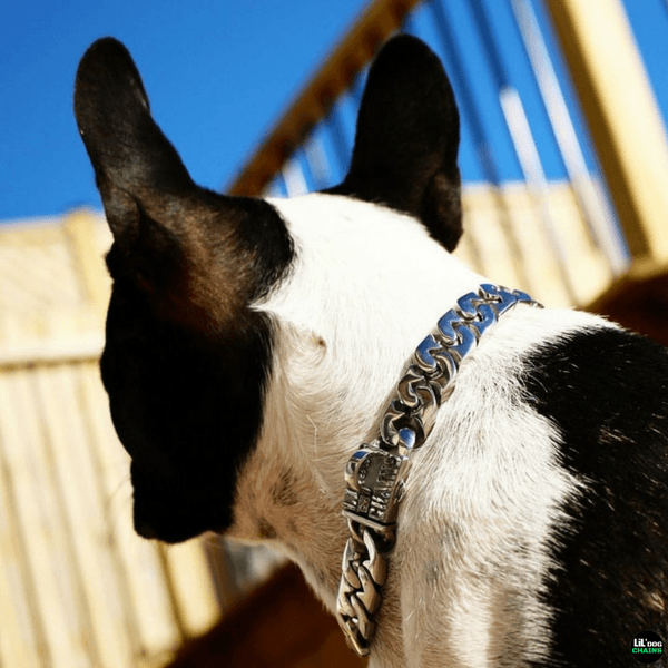 Metal dog collar for frenchies , french bulldog