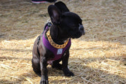PERFECT DOG COLLAR FOR FRENCH BULLDOG | LIL' DOG CHAINS