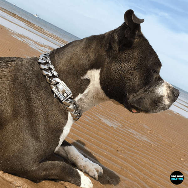 Maui Custom Luxury Dog Collar for Large Dogs made of stainless steel - BIG DOG CHAINS