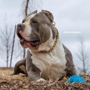 Pit_Bull_and_XL_Bully_Choker_Training_Collar_Gold_and_Comes_with_a_Lifetime_Warranty_BIG_DOG_CHAINS