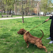 Super strong gold dog leash for big and huge dog | Big Dog chains