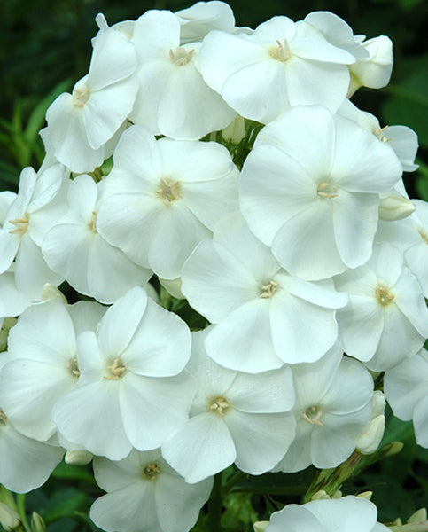 1 x PHLOX paniculata Sweet Summer White - 9cm Pot