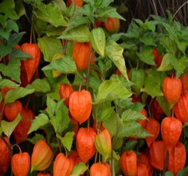 1 x PHYSALIS franchetii - 9cm Pot - PRE-ORDER NOW FOR SPRING DELIVERY