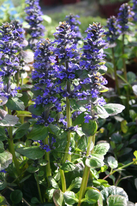 1 x AJUGA reptans Catlin's Giant - 9cm Pot - PRE-ORDER NOW FOR SPRING DELIVERY