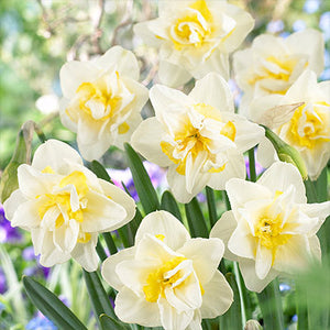 NARCISSUS White Lion 10/12cm - x 5 Bulbs
