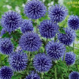 1 x ECHINOPS bannaticus Blue Globe - 9cm Pot - PRE-ORDER NOW FOR SPRING DELIVERY