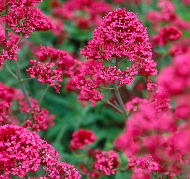 1 x CENTRANTHUS ruber coccineus - 9cm Pot - PRE-ORDER NOW FOR SPRING DELIVERY