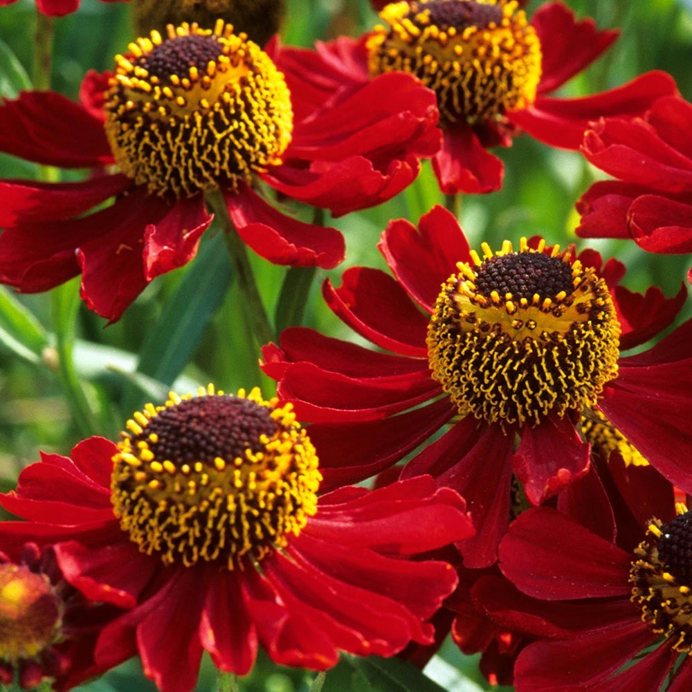 1 x Helenium Rubinzwerg - 9cm Pot - PRE-ORDER NOW FOR SPRING DELIVERY