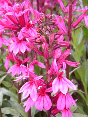 1 X Lobelia Fan Deep Rose 9cm Pot Secret Gardening Club