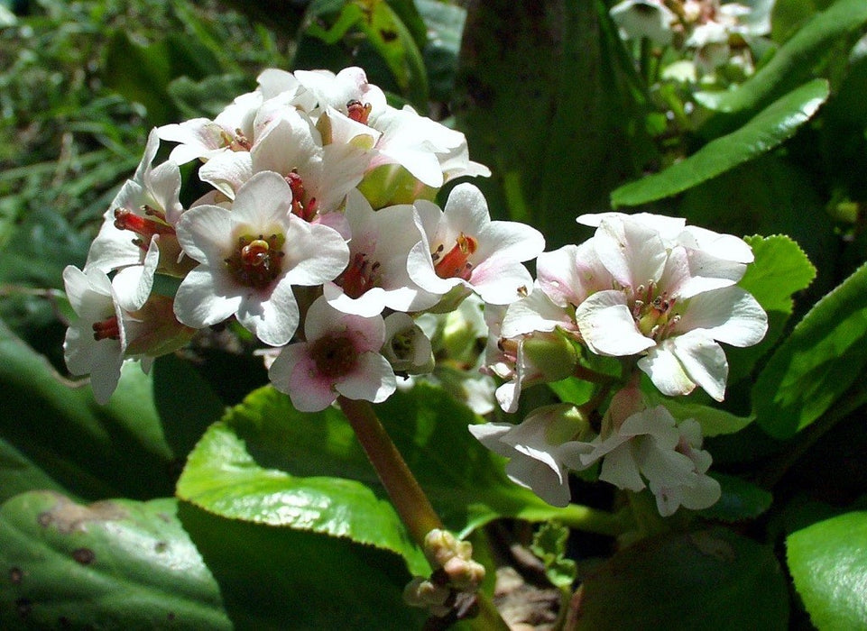 1 x Bergenia Bressingham White - 9cm Pot - PRE-ORDER NOW FOR SPRING DELIVERY