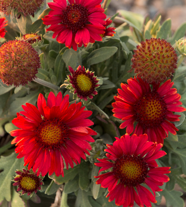 1 x GAILLARDIA Arizona Red Shades - 9cm Pot