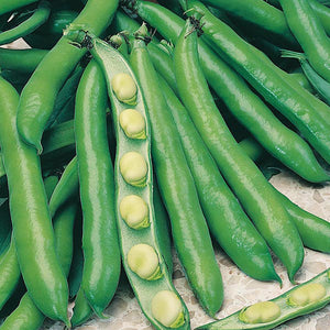 1 Packet (50 Seeds) BROAD BEAN Bunyards Exhibition