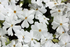 1 x PHLOX subulata White Delight - 9cm Pot