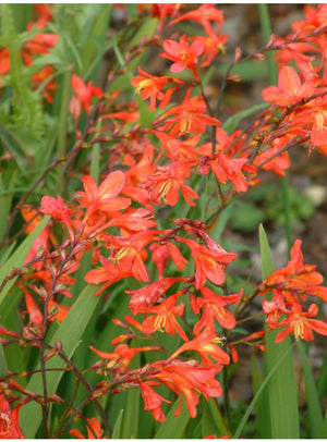 1 x Crocosmia 'James Coey' - 9cm Pot