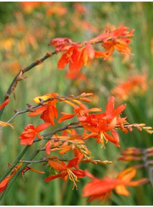 1 x Crocosmia xc. 'Castle Ward Late' - 9cm Pot