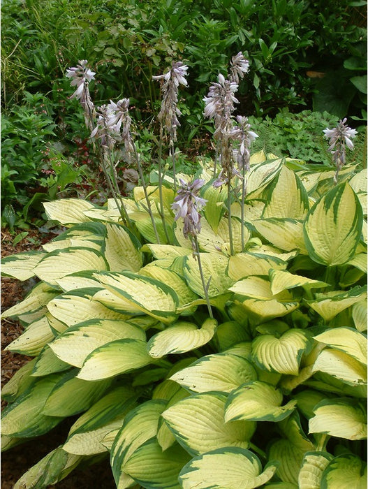 1 x Hosta 'Gold Standard' - 9cm Pot - PRE-ORDER NOW FOR SPRING DELIVERY