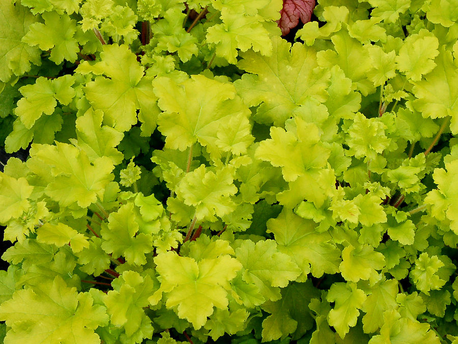 1 x Heuchera 'Lime Marmalade' - 9cm Pot - PRE-ORDER NOW FOR SPRING DELIVERY