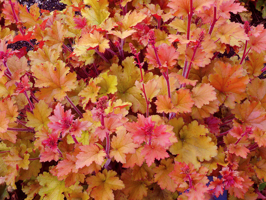 1 x Heuchera 'Marmalade' - 9cm Pot - PRE-ORDER NOW FOR SPRING DELIVERY