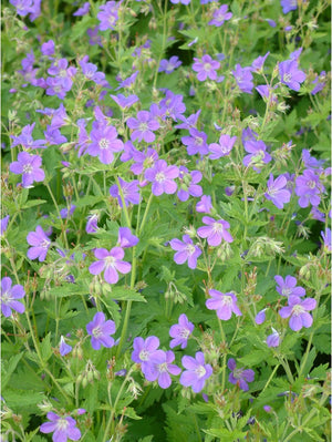 1 x Geranium sylvaticum 'Mayflower' - 9cm Pot