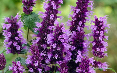 1 x Agastache rugosa 'Little Adder' - 9cm pot