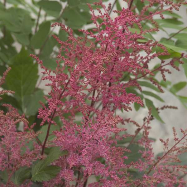1 x Astilbe Aphrodite - 9cm Pot - PRE-ORDER NOW FOR SPRING DELIVERY