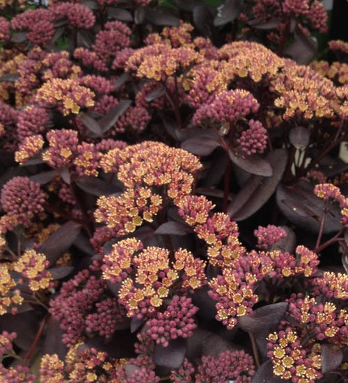 1 x SEDUM telephium Yellow Xenox - 9cm Pot - PRE-ORDER NOW FOR SPRING DELIVERY