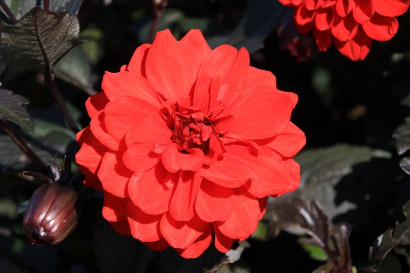 1 x Dahlia Madame Stappers - 9cm Pot - PRE-ORDER NOW FOR SPRING DELIVERY