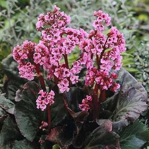1 x Bergenia 'Eden's Magic Giant' - 9cm Pot