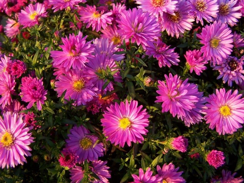 1 x Aster Rose Crystal - 9cm Pot - PRE-ORDER NOW FOR SPRING DELIVERY