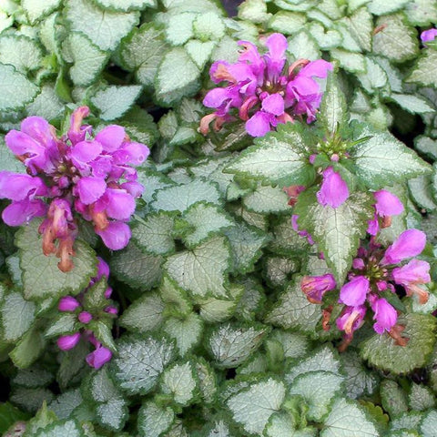 1 x LAMIUM maculatum Beacon Silver - 9cm Pot - PRE-ORDER NOW FOR SPRING DELIVERY