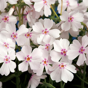 1 x PHLOX subulata Amazing Grace - 9cm Pot