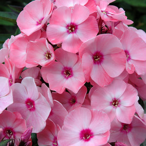 1 x PHLOX paniculata Sweet Summer Salmon Orange 9cm Pot