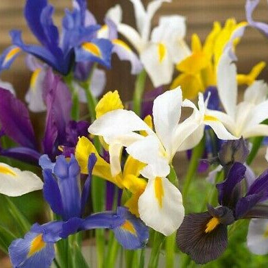 Dutch IRIS mixed 6/7cm - x 20 Bulbs