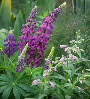 1 x LUPIN polyphyllus Legendary Blue Shades - 9cm Pot