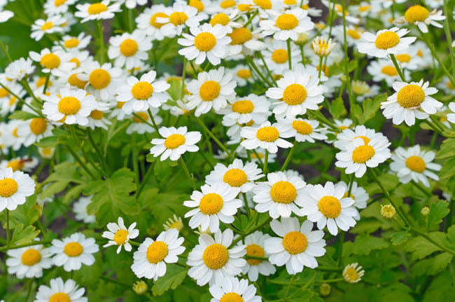 1 X Feverfew Green Tanacetum Parthenium 9cm Pot Secret
