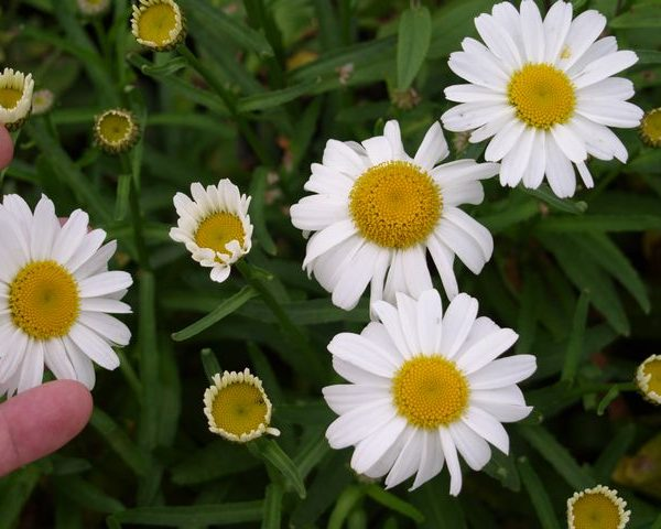 1 x Leucanthemum xs. 'Little M Muffet' - 9cm Pot