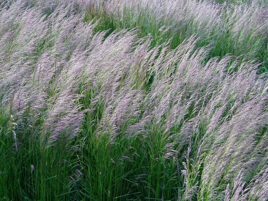 1 x Deschampsia 'Bronzeschleier'  - 9cm Pot - PRE-ORDER NOW FOR SPRING DELIVERY