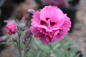 1 x DIANTHUS Morning Star - 9cm Pot