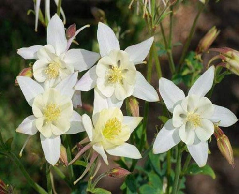 1 x AQUILEGIA caerulea Spring Magic White - 9cm Pot