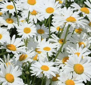 1 x LEUCANTHEMUM Silver Princess - 9cm Pot