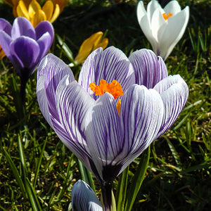 CROCUS Large Flowered Striped - Potted Bulbs - 9cm Pot