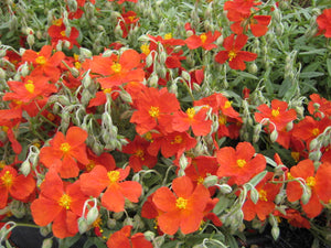 3L Helianthemum Henfield Brilliant -  X1