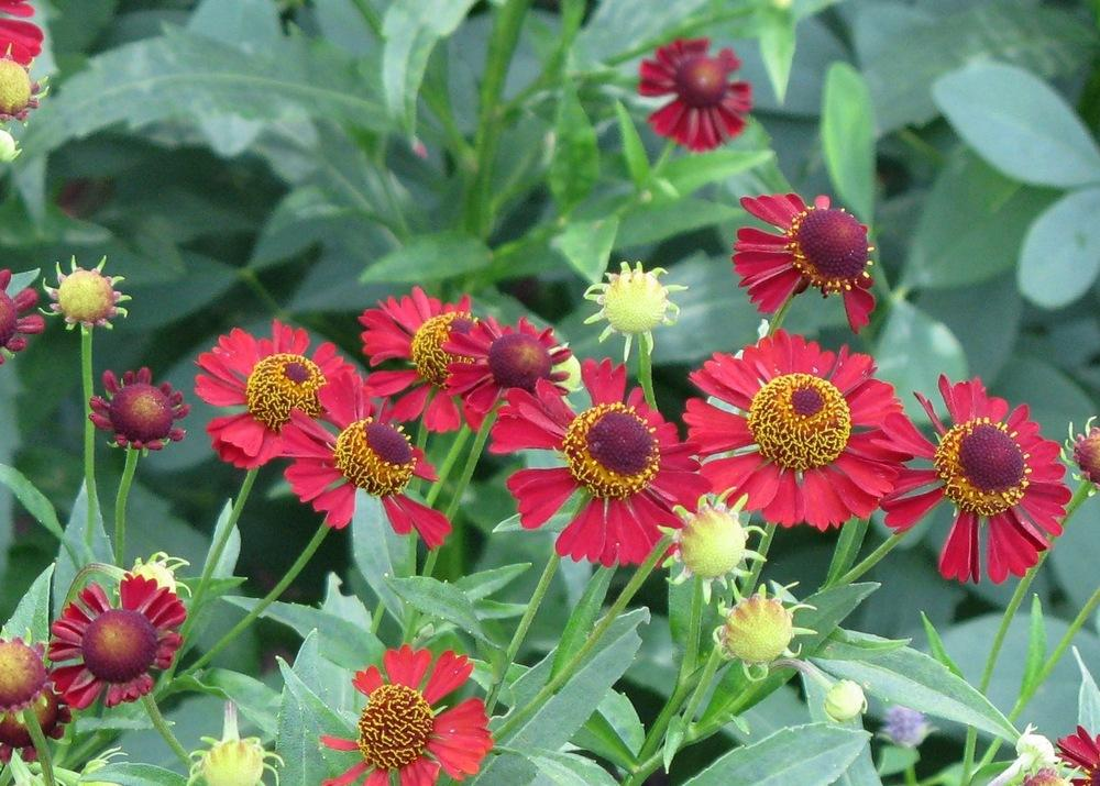 1 x Helenium Ruby Tuesday - 9cm Pot - PRE-ORDER NOW FOR SPRING DELIVERY